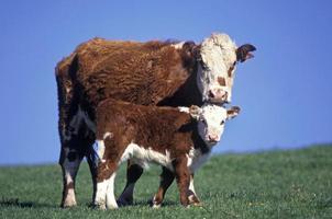 en röd och vit herefordko och hennes kalv foto