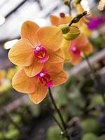 phalaenopsis, orchidaceae foto