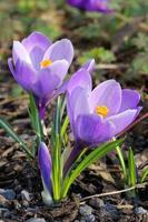två lila krokusblommor foto