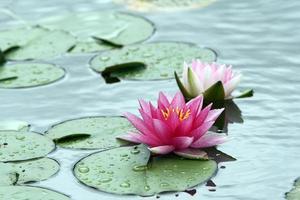 två lila vattenliljor