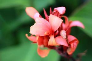 canna indica blomma eller kolaboti blomma foto