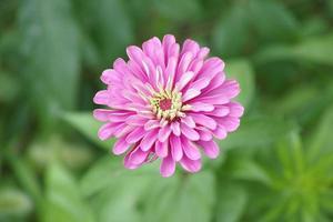 rosa zinnia blomma av amerika blommor foto