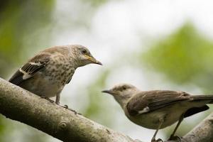 härmfågel