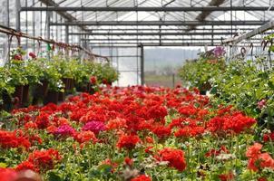blommor i växthus foto