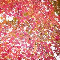 orange lönnlöv hösten väder foto