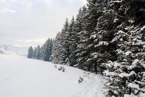 grangrenar i snön, vinterskog foto