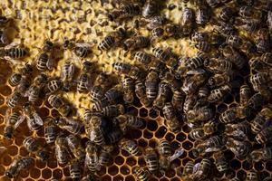 makroskott av bin som svärmer på en honungskaka