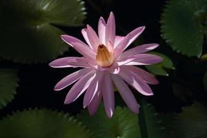 lotusblomma fiji foto