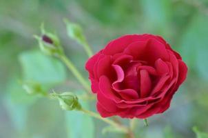 röd ros i blom