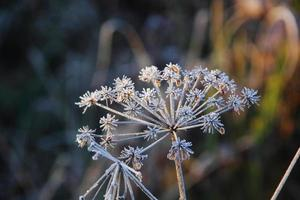 torrt gräs. rimfrost. foto
