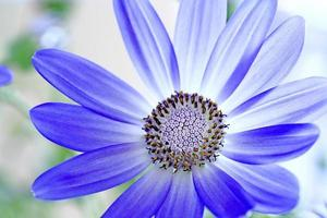 senetti pericallis blomma foto