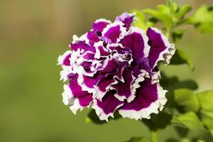 blomma petunia foto