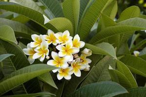 frangipani blommor foto