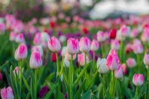 tulpaner blomma