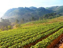 jordgubbarträdgård på doi ang khang, Chiang Mai, Thailand. foto
