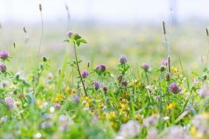 blommande klöver foto