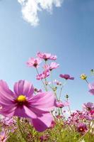 kosmos blommor