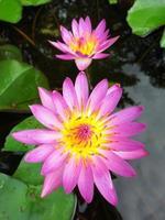 Lotus blomma