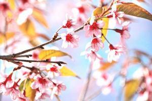 sakura blomma