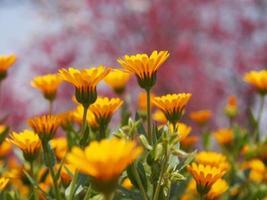 orange blommor foto