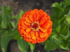 röd blomma foto