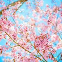 sakura blommor foto