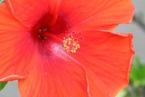 hibiskusblomma foto
