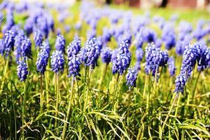 muscari blommor foto