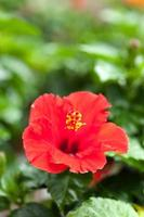 hibiskusblommor foto