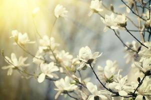 magnoliablommor foto