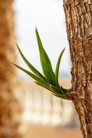 Yucca växt foto