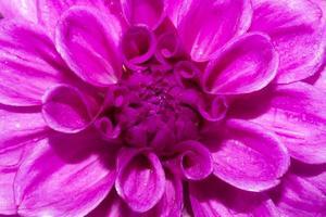 dahlia blommor foto