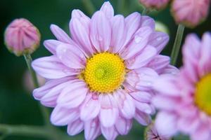 krysantemumblommor foto