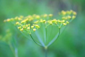 blomställningsdill foto