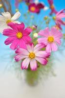 kosmos blommor foto