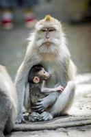 länge svansad makak med sitt barn foto