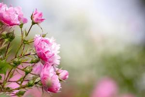 vacker rosa ros i en trädgård foto