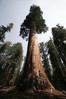 enormt träd
