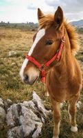 hästar, guadamia, asturien och kantabrien, Spanien foto