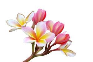gren av tropiska blommor frangipani (plumeria) isolera på whit foto