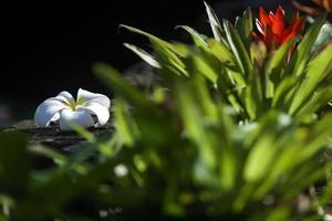 plumeria blomma foto