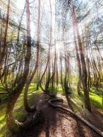 vacker morgon i den krokiga skogen. foto