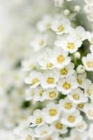 ljusa, luftiga massor av små vita blommor. foto