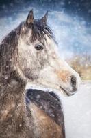 vinterporträtt av grå arabisk häst på snöfall foto