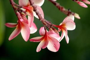 röd plumeria orientalisk blomma foto