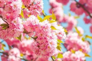 japansk körsbär på våren foto