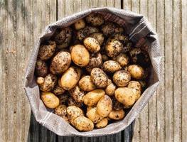 nyskördade potatis foto