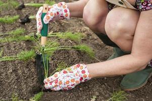 person i trädgården som transplanterar plantor foto