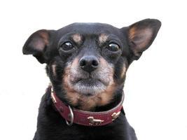efterlyst ! hundporträtt - isolerad på vitt foto