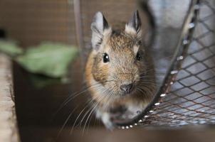 "litet djur som kallas ""okton degus"" foto"